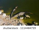swamp and grass of everglades... | Shutterstock . vector #1114484735