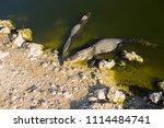 swamp and grass of everglades... | Shutterstock . vector #1114484741