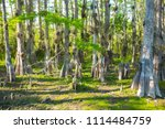 swamp and grass of everglades... | Shutterstock . vector #1114484759