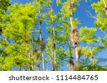 swamp and grass of everglades... | Shutterstock . vector #1114484765