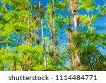 swamp and grass of everglades... | Shutterstock . vector #1114484771