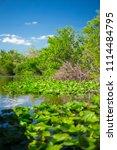 swamp and grass of everglades... | Shutterstock . vector #1114484795