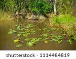swamp and grass of everglades... | Shutterstock . vector #1114484819