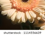light yellow  beige gerbera... | Shutterstock . vector #1114556639