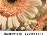 light yellow  beige gerbera... | Shutterstock . vector #1114556645