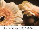 light yellow  beige gerbera... | Shutterstock . vector #1114556651