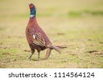 pheasant  male in in a field ...   Shutterstock . vector #1114564124