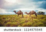 camel camel on the way to otway ... | Shutterstock . vector #1114575545