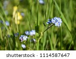 beautiful blue forget me not... | Shutterstock . vector #1114587647