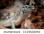 lizards are a widespread group... | Shutterstock . vector #1114626041