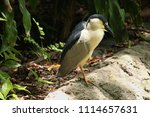 a black crown heron  nycticorax ... | Shutterstock . vector #1114657631