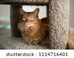 red somali cat looking out with ... | Shutterstock . vector #1114716401