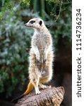 an adult meerkat  suricata... | Shutterstock . vector #1114736234
