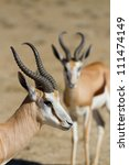 Two male springboks in the Kalahari Desert with the focus on the animal in the front - stock photo