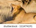 A large black-maned lion yawning in golden light - stock photo