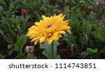 yellow gerbera flower | Shutterstock . vector #1114743851