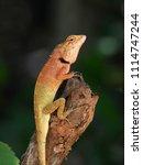 orange lizard resting on a limb. | Shutterstock . vector #1114747244