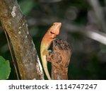 orange lizard resting on a limb. | Shutterstock . vector #1114747247