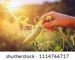 woman hands holding an organic... | Shutterstock . vector #1114766717