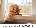 somali cat sitting in a sunny ... | Shutterstock . vector #1114794911