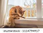 somali cat sitting in a sunny ... | Shutterstock . vector #1114794917
