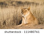 A large adult lioness lying in the Kalahari sand - stock photo