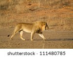 An adult male lion walking along a dry riverbed in golden light - stock photo