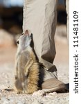 A meerkat sitting next to a human leg looking up - stock photo