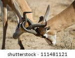 Two springbok rams fighting by locking horns - stock photo