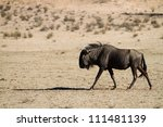 A blue wildebeest bull walking along a dry riverbed in the Kalahari - stock photo