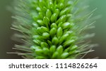 close up of paddy grass in the... | Shutterstock . vector #1114826264