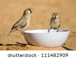 Two sociable weavers drinking from a plastic bowl in the sand - stock photo