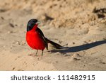 A bright red crimson-breasted shrike sitting in the sand - stock photo