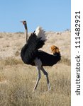 A male ostrich displaying by lifting its wings up high - stock photo