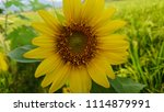 yellow color sunflower at the... | Shutterstock . vector #1114879991