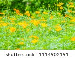 field of yellow cosmos...   Shutterstock . vector #1114902191