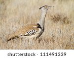 A portrait of a large and powerful kori bustard - stock photo