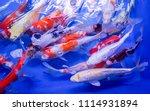 colorful fancy carp fish koi... | Shutterstock . vector #1114931894
