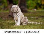 White Bengal Tiger Sitting In...