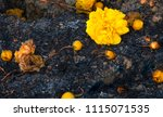 yellow flowers on sooth covered ... | Shutterstock . vector #1115071535