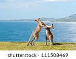This Image Shows Kangaroos...