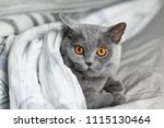 Cute Grey Cat Lying In Bed...