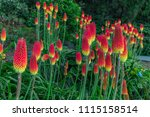 Red Hot Pokers Field At Les...