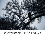 row sits on pine tree branch ... | Shutterstock . vector #1115173775