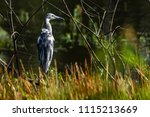 juvenile little blue heron in... | Shutterstock . vector #1115213669
