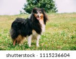 tricolor rough collie  scottish ... | Shutterstock . vector #1115236604