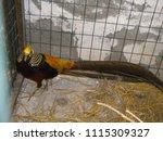 Farm Pheasant In Cage