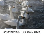 beautiful white whooping swans... | Shutterstock . vector #1115321825