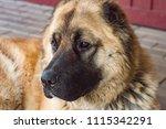dog caucasian sheepdog two... | Shutterstock . vector #1115342291