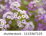 Flowering Lobularia Maritima ...